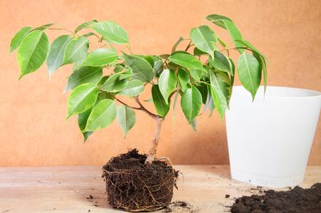 graft: Home gardening green plant Stock Photo