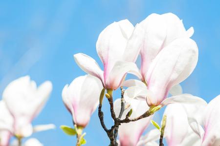 magnolia flowers: Magnolia flowers on blue background