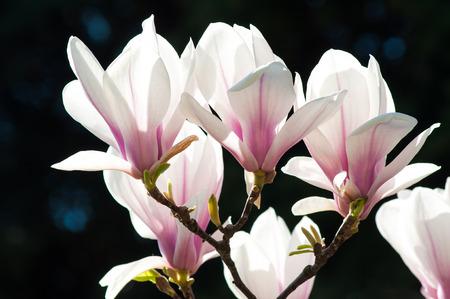 magnolia flowers: Spring Magnolia flowers