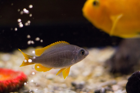 cichlid: Cichlid fish in aquarium with bubbles
