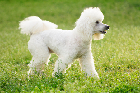 white poodle: White poodle dog on green grass  field