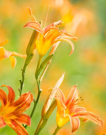 day lily: Orange day lily flowers