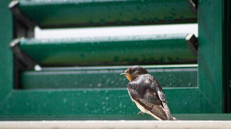 swallow bird: Swallow bird sitting on window.