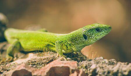 lacerta: Green european lizard in nature