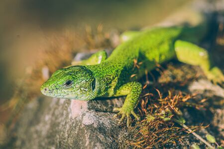 Green european lizard in nature