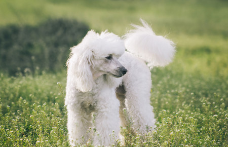 Poodle dog on green grass outside in nature Stock Photo