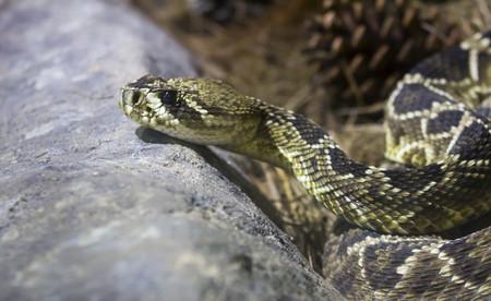 Serpiente de cascabel de espalda de diamante del este Foto de archivo