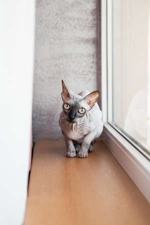 Sphynx Canadian hairless kitten sitting near a big bright window Stock Photo