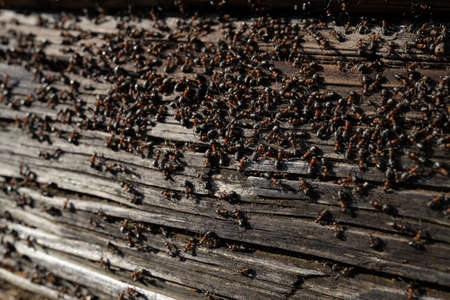 Ants nest in wood - Fire ants crawling on the wooden old house