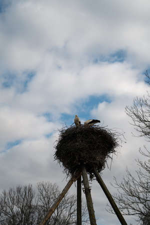 Wild stork nest on a pillar with a cloudy sky background - Two storks making family