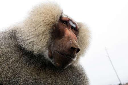 Huge baboon sitting on a car window in Mallorca safari zoo, Spain Stock Photo