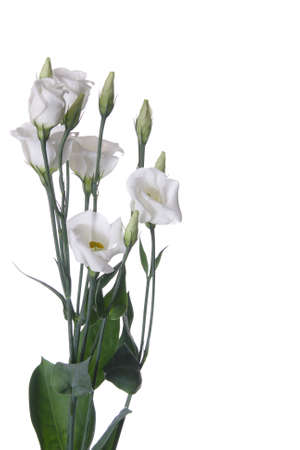 White eustoma flower photo