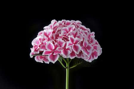 pelargonium: Pink cranesbill - Pelargonium inflorescense