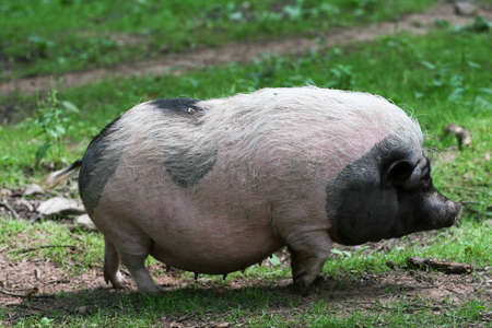 Potbelly pig photo
