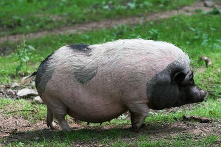 potbelly: Potbelly pig