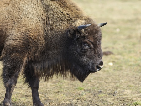 flatland: Threatened of extinction European flatland bison from a side view
