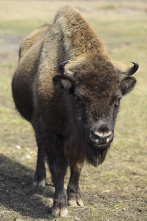 flatland: Threatened of extinction flatland European bison in frontal view