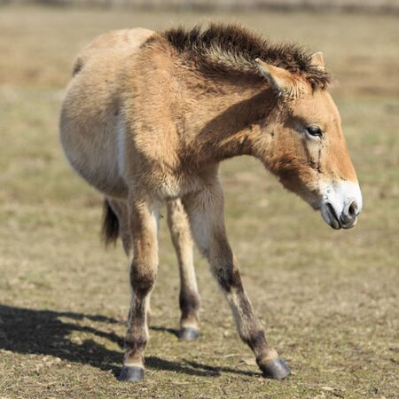 threatened: Threatened of extinction Przewalski horse in frontal view  Stock Photo