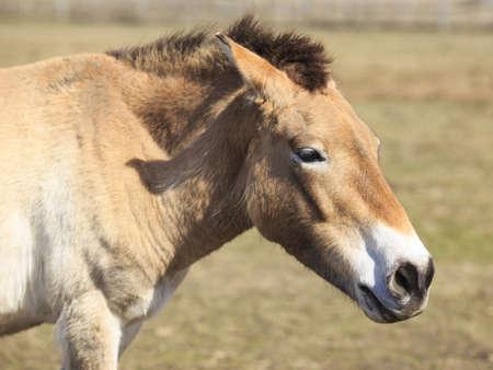 extinction: Portrait des esp�ces menac�es d'extinction cheval de Przewalski � partir d'une vue de c�t�