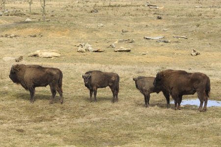 flatland: A group of four European flatland bison are standing beside a small puddle  There are two mother wisents with their calves  These wisents are  threatened with extinction