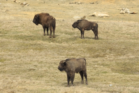 flatland: A group of European flatland bison is standing in the grassland  They are one mother bison with two calves  These wisents are threatened with extinction
