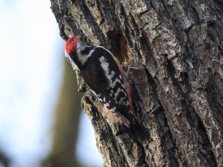 This Middle Spotted Woodpecker timbers a breeding burrow into the trunk of an oak  photo