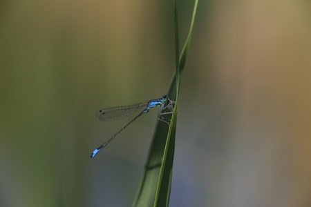 zygoptera: Blue Damselfly eat fly while it sits on a reed leaf  Stock Photo