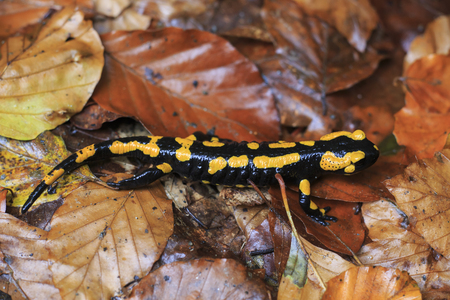 Fire salamander on autumn foliage  The fire salamander is on the Red List  photo
