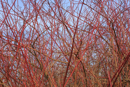 impervious: Disordered red and leafless branches in front of blue sky