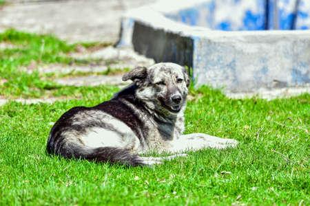 Romanian shepherd guard dog Reklamní fotografie
