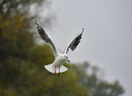 seagull in flight Stock fotó