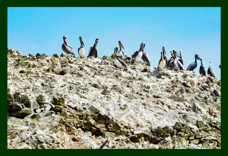 pelicans in the Ballestas Islands  12