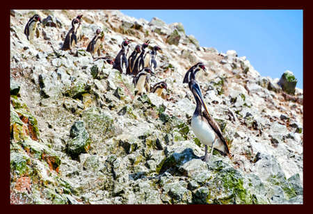 pelicans and penguins in the Ballestas Islands Banco de Imagens