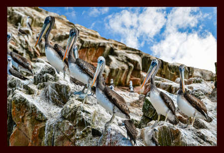 pelicans in the Ballestas Islands  5