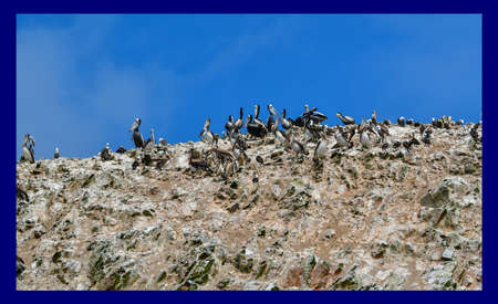 pelicans in the Ballestas Islands  20