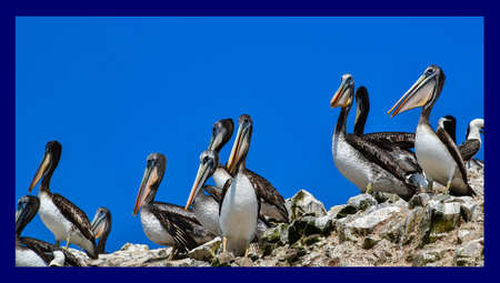 pelicans in the Ballestas Islands  15