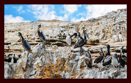 pelicans in the Ballestas Islands 38 Banco de Imagens - 147456468
