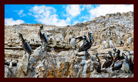 pelicans in the Ballestas Islands 37