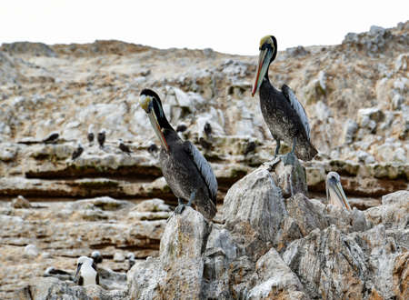 pelicans in the Ballestas Islands 36