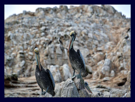 pelicans in the Ballestas Islands 33 Banco de Imagens
