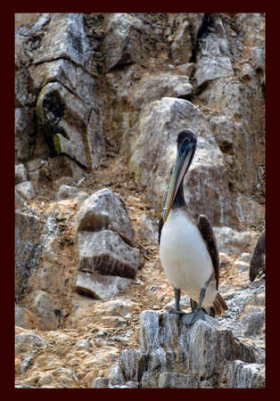 pelican  in the Ballestas Islands 70