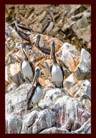 pelicans  in the Ballestas Islands 83