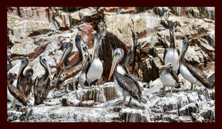 pelicans  in the Ballestas Islands 90 Banco de Imagens