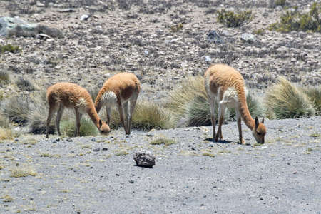 The guanaco (Lama guanicoe) is a camelid native to South America, closely related to the llama. Its name comes from the Quechua word huanaco Young guanacos are called chulengos