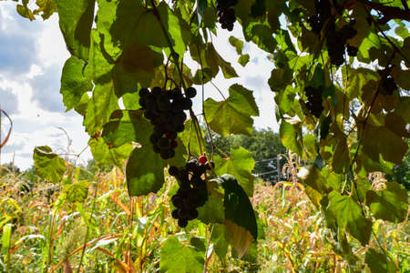 "Grapes Izabella or Capsunica -Novaci Romania On her real name ""Isabella"", Capsunica grapes emigrated from the United States about 200 years ago with a whole series of vine hybrids"