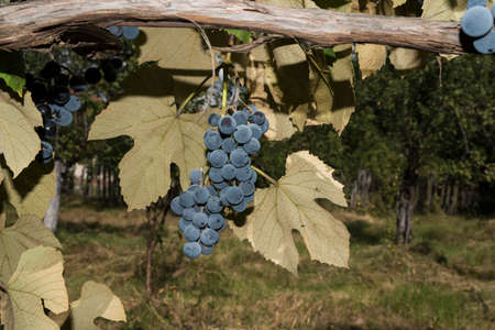 Grapes Izabella or Capsunica -Novaci Romania On her real name