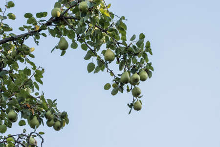 Autumn pears Pyrus comunis or hair, is a deciduous tree of the Rosaceae family, whose fruit is pear. Pear is the sister of the apple, because they belong to the same family and both fruits are edible Standard-Bild