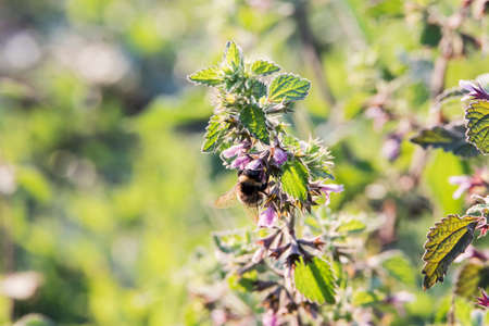 Lamium amplexicaule (dead nettle) is an annual seed-bearing weed with a deep pivoting root. The flower is pink to carmine red