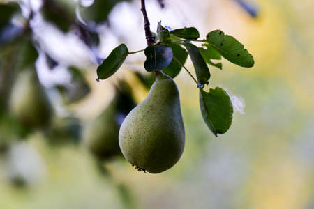Autumn pears Pyrus comunis or hair, is a deciduous tree of the Rosaceae family, whose fruit is pear. Pear is the sister of the apple, because they belong to the same family and both fruits are edible