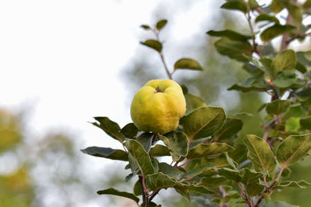quince It is a fruit tree related to the apple and the hair. It has been known since antiquity, its fruits being used in gastronomy or folk medicine, along with seeds and leaves